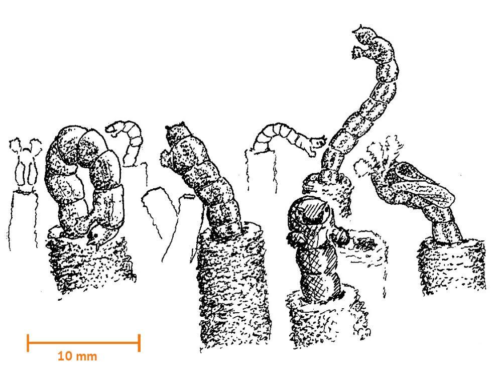 Fjädermyggor