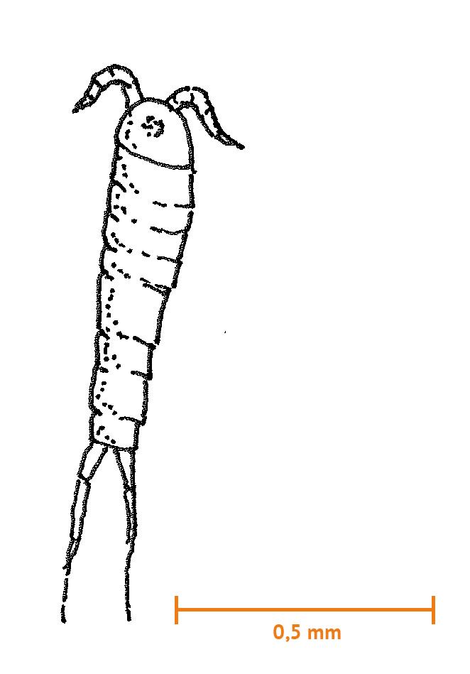 Harpacticoid hoppkräfta (ca 1 mm)