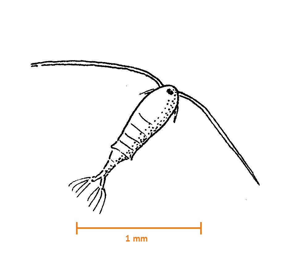 Calanoid hoppkräfta (ca 1,2 mm)