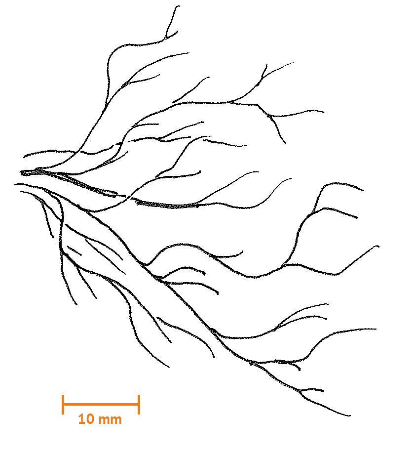 Trådformig alg
