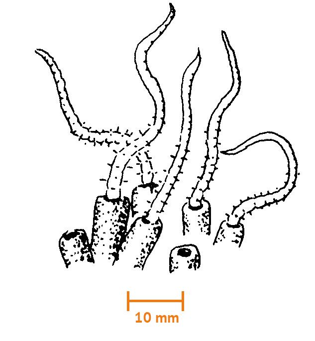 Slammask (Tubifex sp. ca 50 mm, med rören)