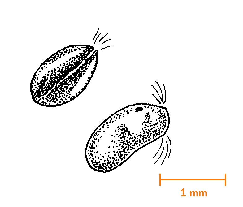 Musselkräftor