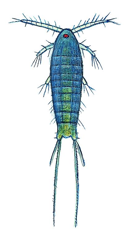 "Hoppkräfta ""Nattsmyglikande hoppkräfta"" (Canthocampus sp.) Små dyr i sø og å. Gyldendal 2016"