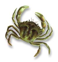 Shore crab (Carcinus maenas)