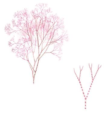 Ceramium tenuicorne. (Eine rote Alge). Aus: Havets djur och växter, Gyldendahls 2018