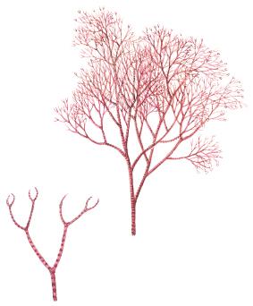 Grovsläke (Ceramium virgatum). Ur Havets djur och växter, Gyldendals 2018