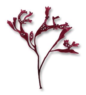 Coccotylus brodiei (a red algae). From Havets djur och växter, Gyldendals 2018