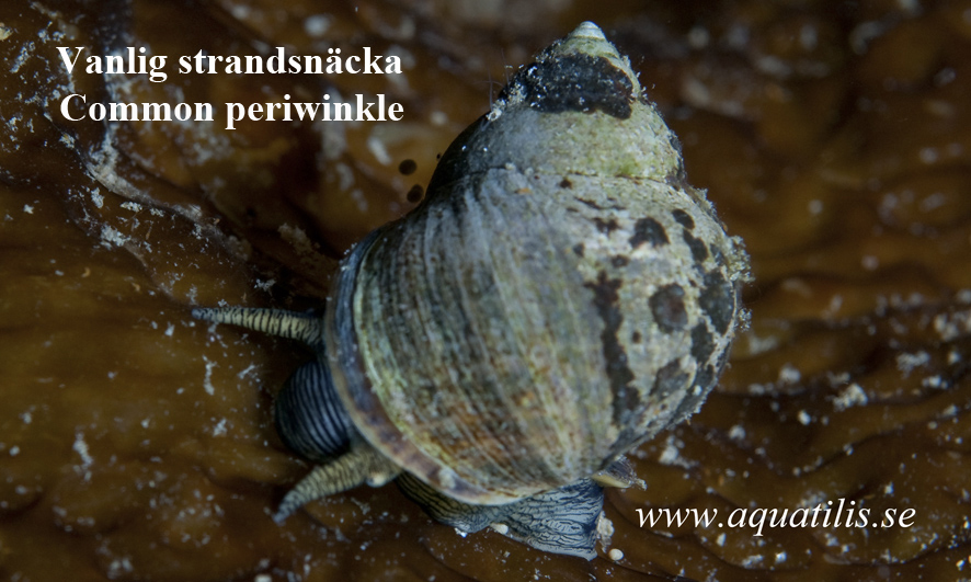 Common periwinkle. Littorina littorea. Photo: Aquatilis