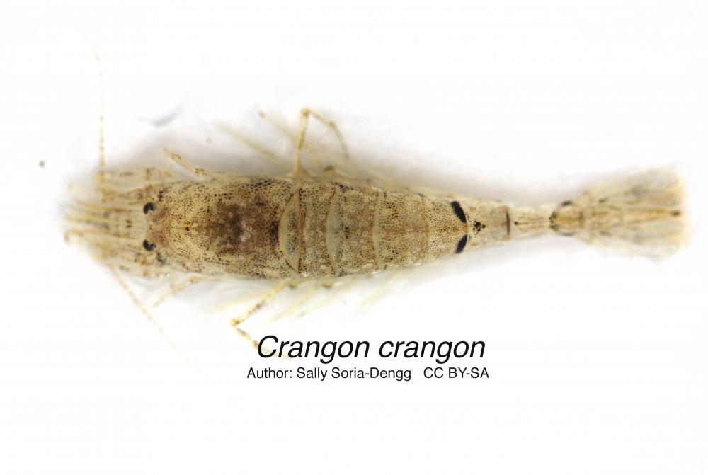 Sand shrimp (Crangon crangon)