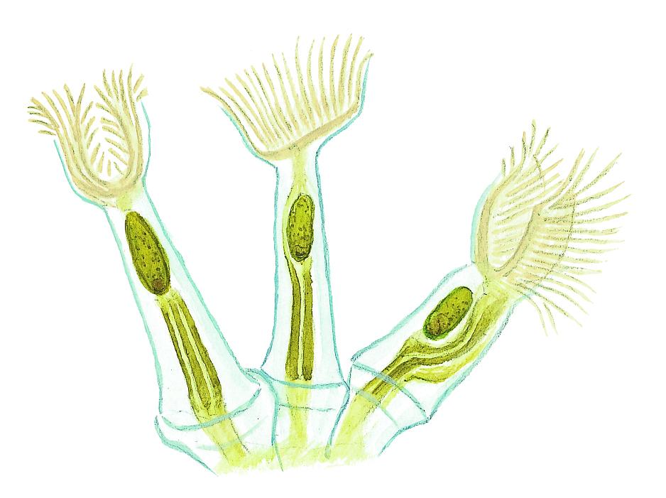 Krypande mossdjurskoloni (detalj) (Cristatella mucedo) Små dyr i sø og å. Gyldendal 2016