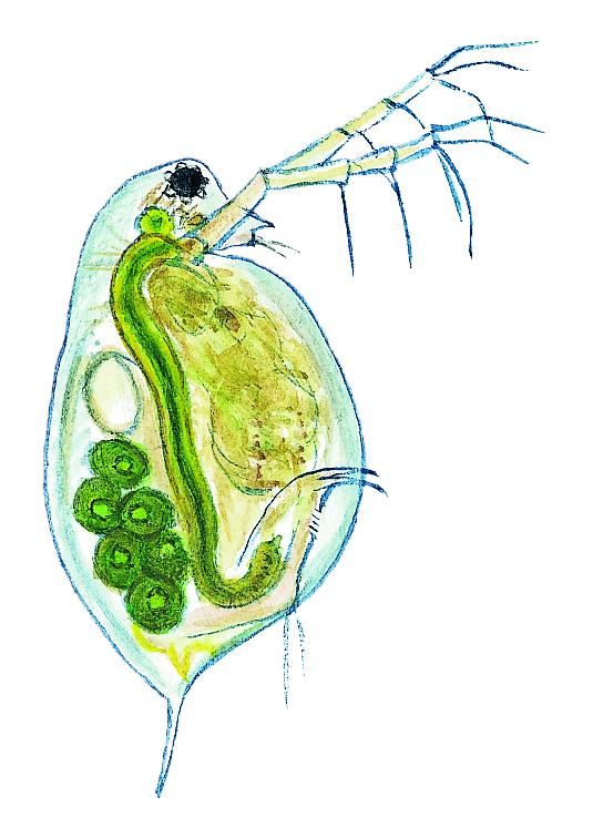 Hinnkräfta. Mindre dammvattenloppa (Daphnia pulex) Små dyr i sø og å. Gyldendal 2016