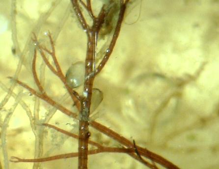 Ullsläke (Ceramium tenuicorne)