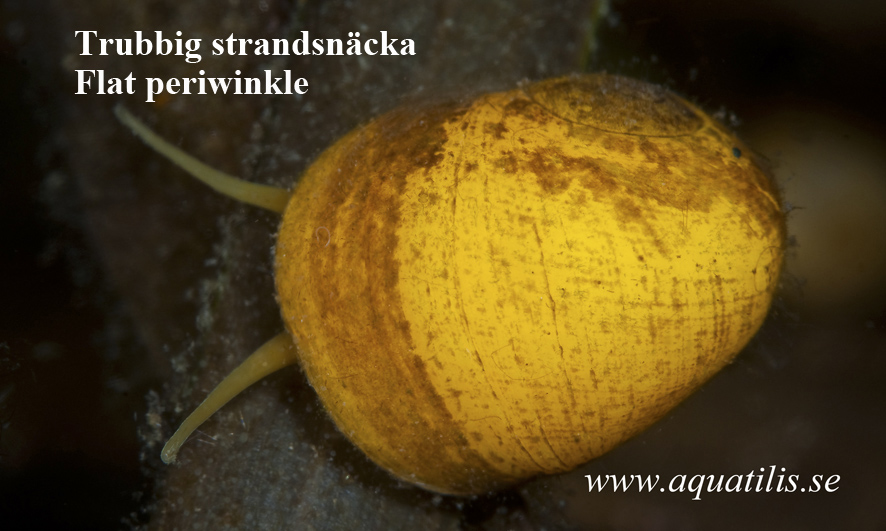Flat periwinkle. Littorina obtusata. Photo: Aquatilis