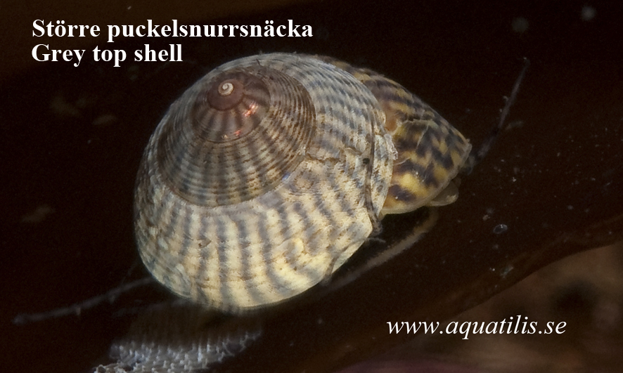 Grey top shell. Gibbula cineraria. Photo: Aquatilis