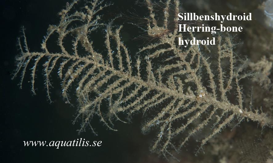 Halecium halecinum Sillbenshydroid. Herring-bone hydroid