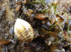 Common cockle, with small blue mussels. (Cerastoderma edule)