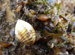 Hjärtmussla (ca 10 mm) och små blåmusslor. (Hjärtmusslor återfinns vanligtvis på och i sandbottnar)