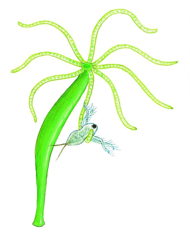 Grön hydra (Hydra viridissima) Små dyr i sø og å. Gyldendal 2016