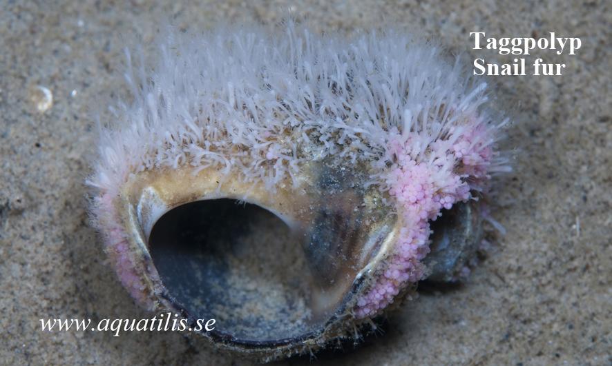 Hydractinea echinata. Stachelpolyp. Photo: Aquatilis