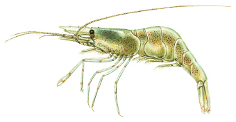 Common prawn (Palaemon adspersus)