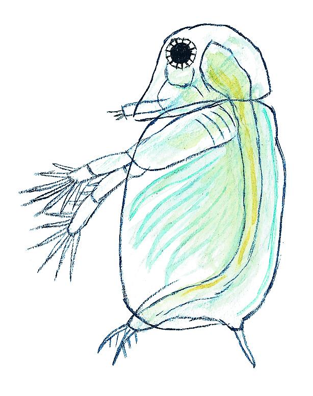 Hinnkräfta. Klibbhinnkräfta (Sida crystalina) Små dyr i sø og å. Gyldendal 2016