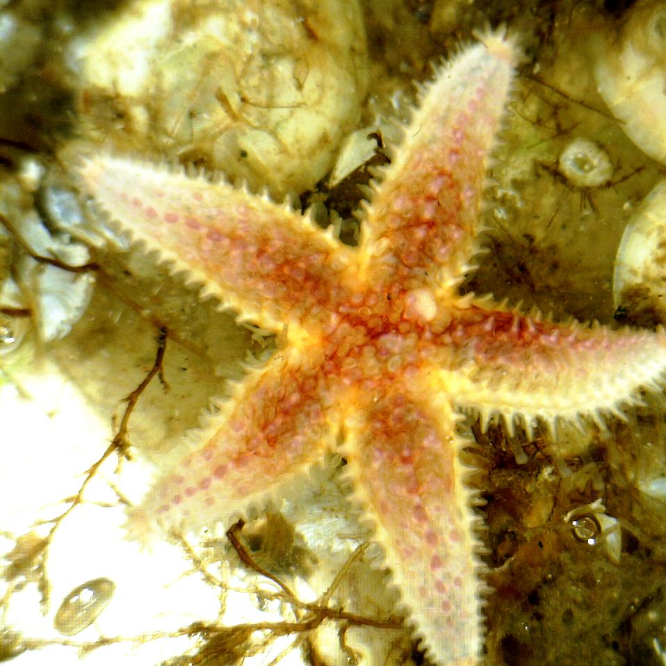 Common Sea star (Asterias rubens). Small specimen on a VIRTUE disc
